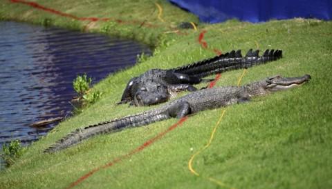 Justin Rose cởi quần lội nước hồ đầy cá sấu để cứu bóng