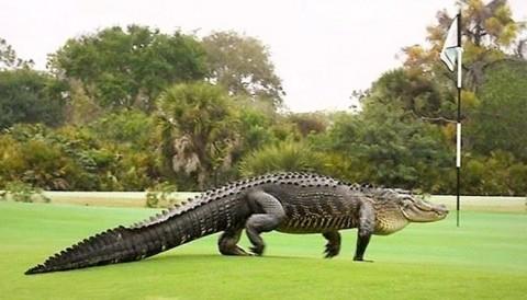 Chú cá sấu nặng cả tấn từng gây bão mạng xuất hiện trở lại