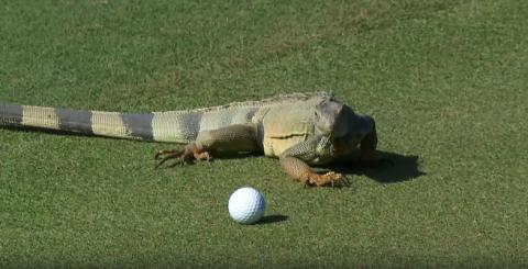 [Luật Golf 18-1] Kỳ Giông đẩy bóng golf ở Puerto Rice Open 2014